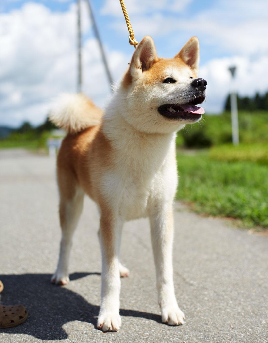 秋田犬の画像 p1_29